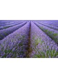 Volatile Lavendel Franse Bio 10 ml